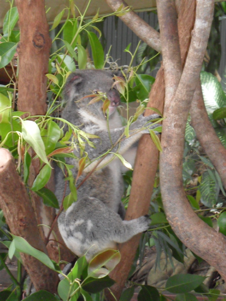 Koala just hanging around